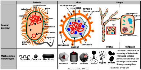 Differences between bacteria virus and fungi thumbnailbacfungivirusg ccuart Choice Image
